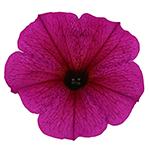 Beautical Purple Dawn