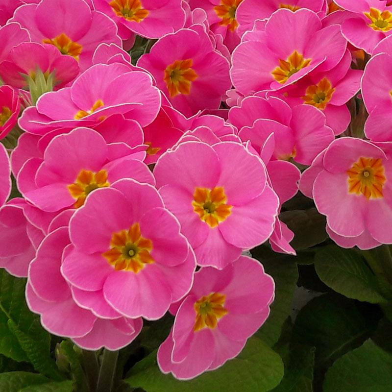 Supernova Sakata Ornamentals, Bedding Plant Pink Flower