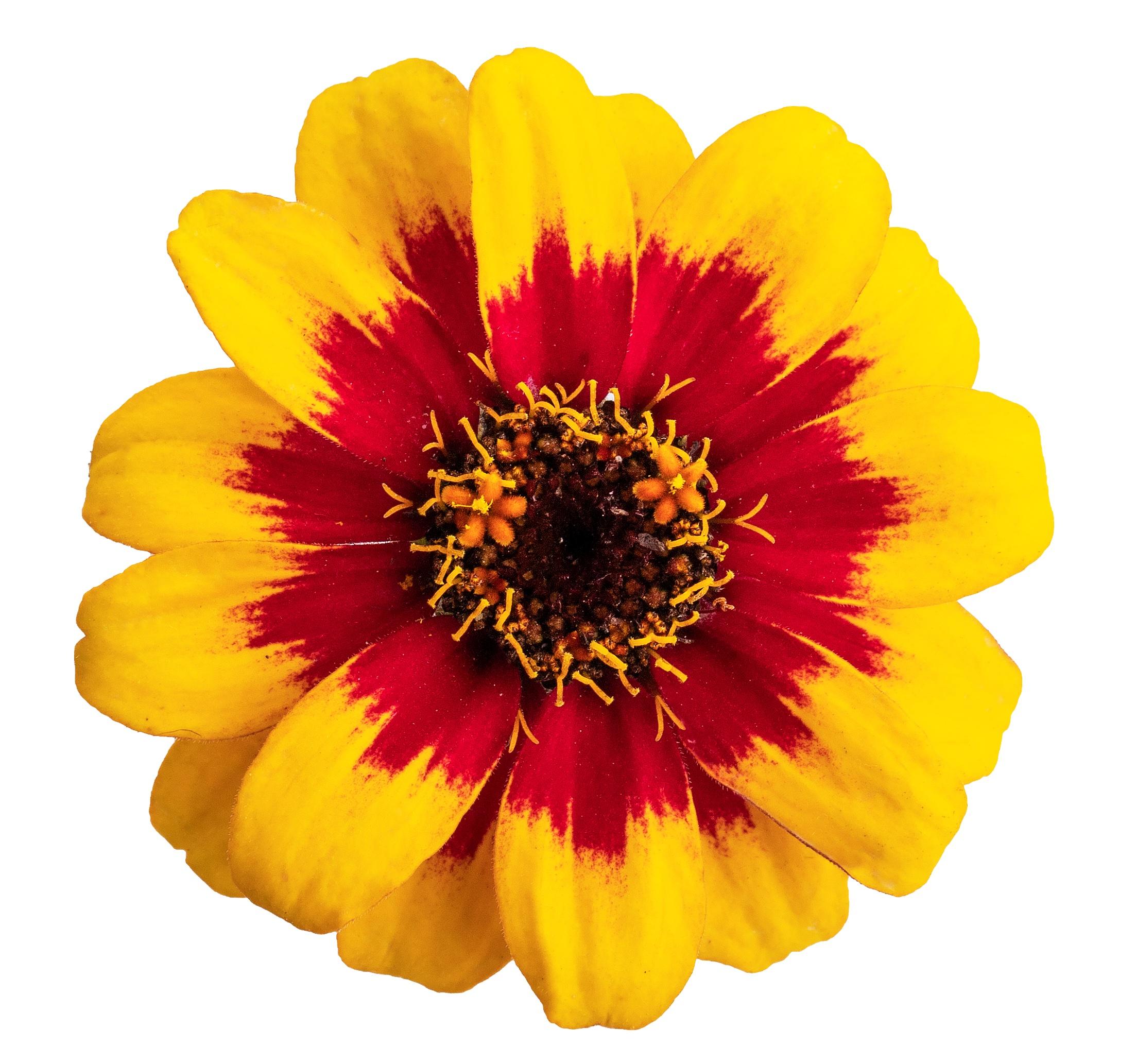 Zinnia Profusion Red Yellow Bicolour
