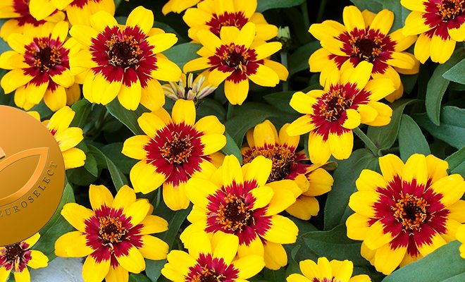 Zinnia-Profusion-Red-Yellow-Bicolour