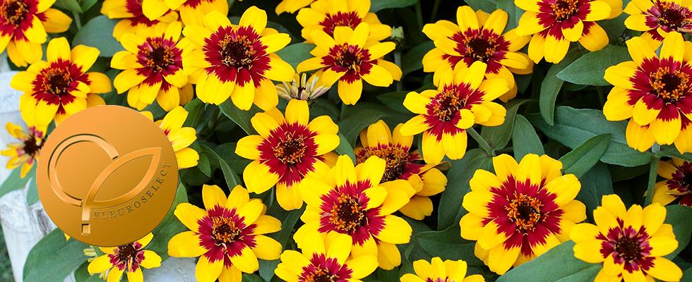 Zinnia-Profusion-Red-Yellow-Bicolour